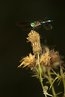 A male blue dasher dragonfly perches on an old thistle flower that's gone to seed over a small pond in rural southern Georgia in Hardee County.