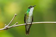 White-chested Emerald (Amazilia brevirostris) perched. Trinidad