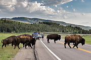 A herd of North American Bison cross Highway 89 along Elk Ranch Flats stopping traffic at the Grand Teton National Park in Moran, Wyoming.