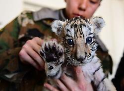 February 5, 2018 - Shenyang, Shenyang, China - A tiny Siberian tiger cub at a tiger park in Shenyang, northeast China's Liaoning Province. (Credit Image: © SIPA Asia via ZUMA Wire)