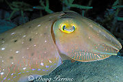 cuttlefish, Sepia latimanus, at night, near instantaneous change of color and texture, Great Barrier Reef, Australia #1 of 2 in sequence