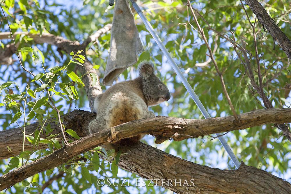 Koala <br /> Phascolarctos cinereus<br /> Koala Hospital rescue team using rescue pole to bring down female sick with chlamydia<br /> Port Macquerie, Australia