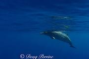 Blainville's beaked whale or dense-beaked whale, Mesoplodon densirostris, Northwest Providence Channel, Bahamas ( Western Atlantic Ocean )