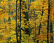Autumn colors of a beech-maple forest along White River, Green Mountain National Forest, Vermont.