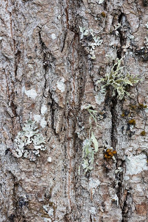 Lichen grows on the rough textured bark of an Oregon ash (Fraxinus latifolia) tree growing in Marymoor Park, Redmond, Washington.