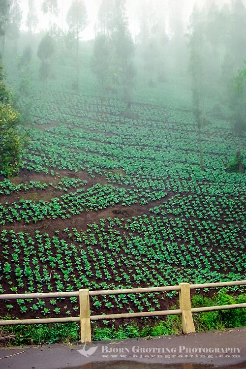 Java, East Java, Bromo Tengger. Cauliflower plantation beneath Mount Bromo.