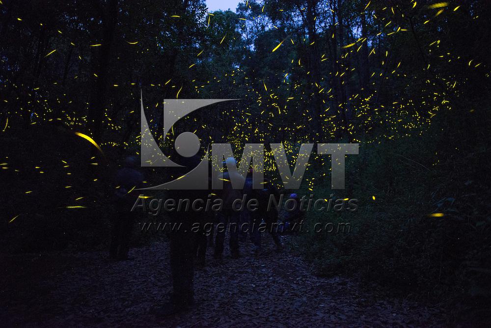 Nanacamilpa, Tlaxcala.- Al caer el sol millones de luciernagas iluminan los bosques de Oyamel, Abeto y Cedro Blanco que rodean el Santuario de las luciernagas, segundo reconocido a nivel mundial, ubicado en el centro ecoturistico Santa Clara, localizado al poniente del estado a 2,800m SNM, el ecosistema es conservado y protegido por la Comision Nacional Forestal CONAFOR. Agencia MVT / Mario Vazquez de la Torre.