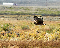 Northern Harrier (Circus hudsonius). Arapaho National Wildlife Refuge, Colorado. Image taken with a Nikon D700 camera and 80-400 mm VR lens.