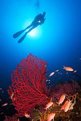 Paramuricea clavata, Taucher und Rote Gorgonien, scuba diver on reef with red gorgonians