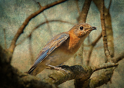 A bluebird in a tree after catching a snack