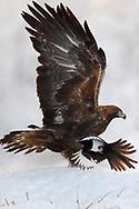 Golden Eagle bird, Aquila chrysaetos, adult male, with Magpies, Kalvtrask, Vasterbotten, Sweden