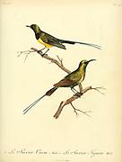 Sucrier cossu and Sucrier figuier. from the Book Histoire naturelle des oiseaux d'Afrique [Natural History of birds of Africa] Volume 6, by Le Vaillant, Francois, 1753-1824; Publish in Paris by Chez J.J. Fuchs, libraire 1808