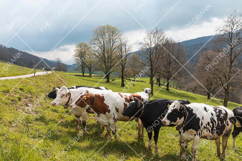 Herd of spotted cows surrounded by nature in the Swiss Alps, in the Canton of Jura. Nobody inside. Cloudy day