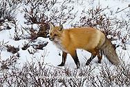 01871-02815 Red Fox (Vulpes vulpes) in snow in winter, Churchill Wildlife Management Area, Churchill, MB Canada