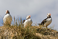 Puffins resting on a grassy-sandy bank above the photographer, Farne Islands, Northumberland, England