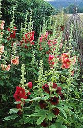 Alcea rosea - hollyhocks