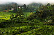 The BOH (Best Of Highlands) tea plantation sits at 4,935 feet above sea level in Malaysia's Cameron Highlands. Founded by J.A. Russell, who arrived in the region in 1880 at the age of 7 (with his parents and four brothers), BOH is today synonymous with quality Malaysian teas.The leaves are plucked and harvested every three weeks depending on the area. Each employee cuts about 265 pounds of tea each day and trucks carry 19,900 pounds to the factory. The 15/20 hour process of rolling, fermenting, drying, assorting, selecting and packaging can be observed in the huge factory buildings.