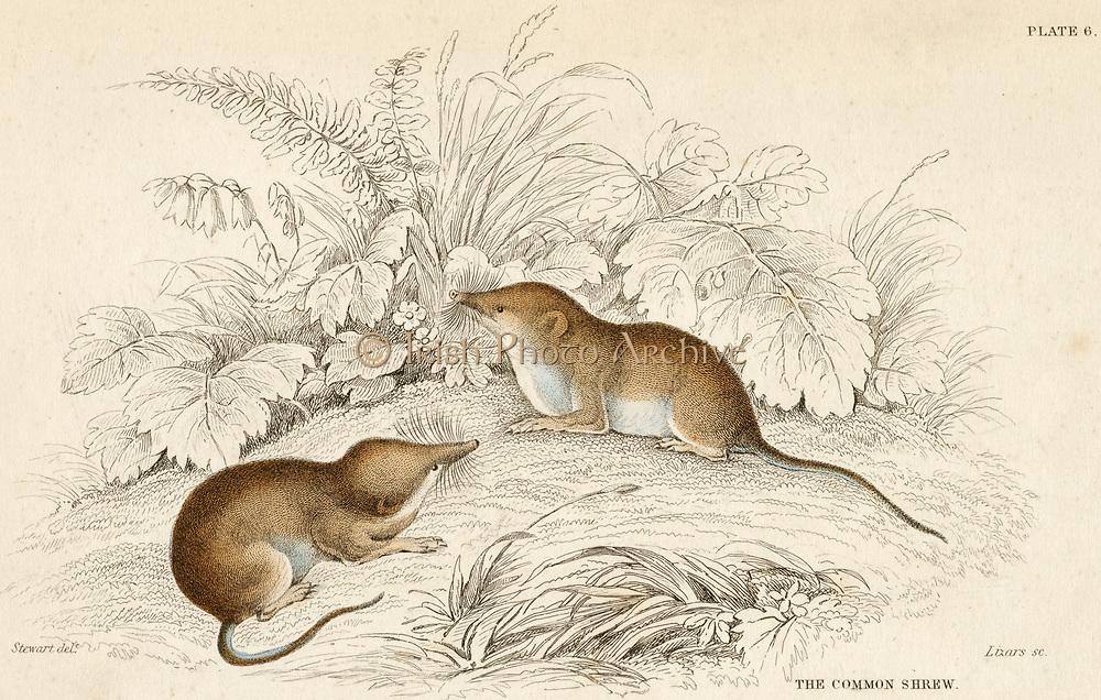 'Common Shrew - Sorex araneus: a small insectivorous mammal; Distribution, Eurasia. Hand-coloured engraving from ''A History of British Quadrupeds'', Edinburgh, 1838.'