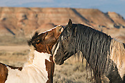 A young colt caressing the head of a stallion in one of Wyoming's wild horse herds.