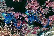 Mandarinfish - male & female.(Synchiropus splendidus).Lembeh Straits, Indonesia