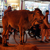 Asia, India, Varanasi. A sacred cow stands in the middle of traffic on a busy Varanasi street.