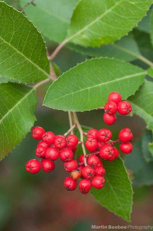 Red berries of toyon (Heteromeles arbutifolia), California