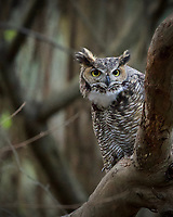 """The """"horns"""" are actually feathers used in owl communication.  I photographed this paired owl about once a week for six months in Santa Cruz, California, following them from searching for a nest to fledging two young successfully."""