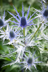 Eryngium × zabelii 'Big Blue' - Sea holly