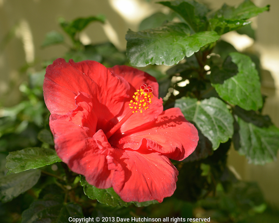 USA: Florida: Broward County: Fort Lauderdale: A red Hibiscus flower with green leaves glistens in the sunlight after a light rain in Florida.