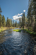 Ponderosa forest on the banks of the Metolius River, Deschutes National Forest, Oregon.