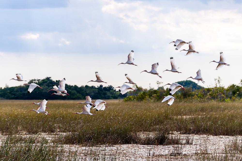 US, Florida, Everglades, Shark Valley. A flock of White Ibis.