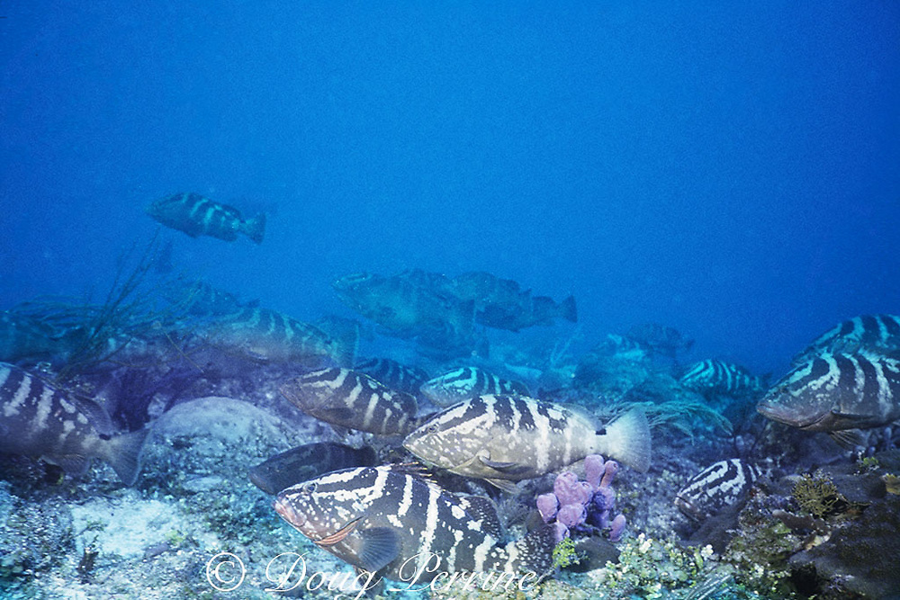 spawning aggregation of Nassau groupers, Epinephelus striatus ( critically endangered species ), over coral reef, Belize ( Caribbean Sea )
