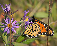 Monarch Butterfly Feeding on a Purple Wildflower. Image taken with a Nikon D2xs camera and 80-400 mm telephoto zoom lens (ISO 400, 400 mm, f/5.6, 1/1000 sec).
