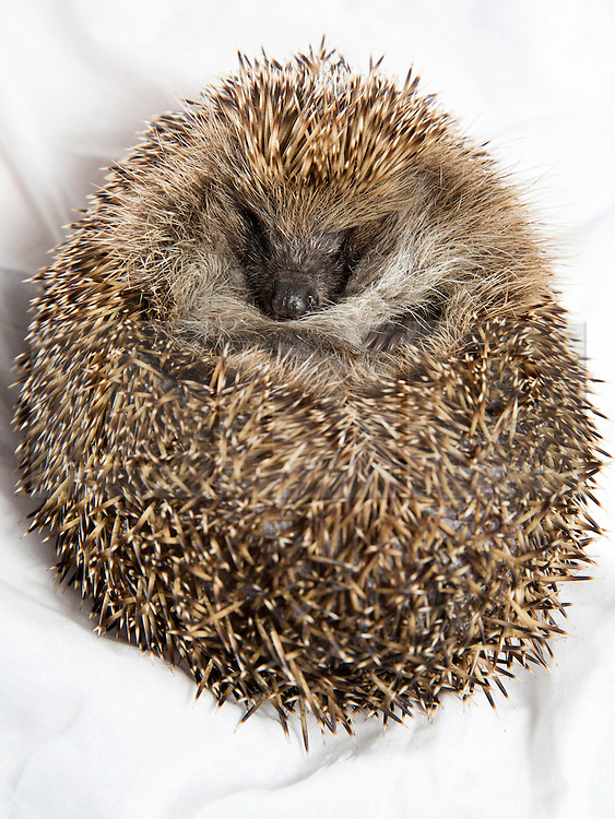 © Licensed to London News Pictures. 2/9/2014. Solihull, West Midlands UK. Happyhogs rescue service has become a temporary home to more than sixty orphaned or sick hedgehogs. Pictured, Quack, contracting Lung Worm, then being nursed back to health kept  kept eating and eating becoming so overweight that he's now been placed on a diet! Quack won't be allowed to return to the wild until he can curl up into a full ball to protect and keep himself warm. Contact Sally, sally@happyhogsrescue.org.uk. Photo credit : Dave Warren/LNP