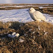 Snowy Owl adult returning to its nest. Barrow, Alaska