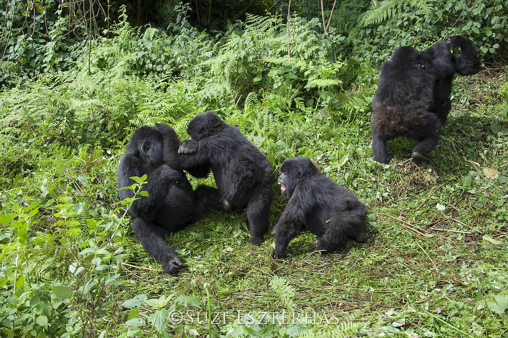 Mountain Gorilla<br /> Gorilla gorilla beringei<br /> Sub-adults and juveniles playing<br /> Parc National des Volcans, Rwanda<br /> *Endangered species