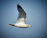 Ring-billed Gull in Flight. Blackpoint Wildlife Drive, Merritt Island National Wildlife Refuge. Image taken with a Nikon D4 camera and 500 mm f/4 VR lens (ISO 250, 500 mm, f/7, 1/1000 sec).