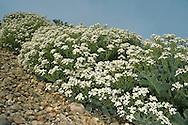 Sea Kale - Crambe maritima