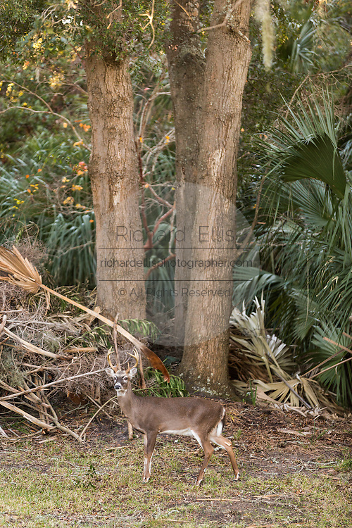 Deer roaming freely through a residents property on Fripp Island, SC.