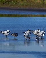 Lesser Black-backed Gull (Larus fuscus. Merritt Island National Wildlife Refuge, Merritt Island, Florida. Image taken with a Nikon D4 camera and 500 mm f/4 VR lens.