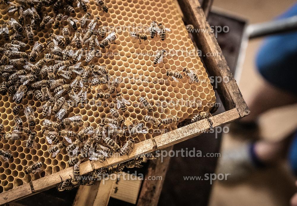 THEMENBILD - das Bienenvolk arbeitet auf einem Wabenbereich des Bienestocks, aufgenommen am 12. Juni 2019, Piesendorf, Österreich // the bee colony works on a honeycomb area of the beehive on 2019/06/12, Piesendorf, Austria. EXPA Pictures © 2019, PhotoCredit: EXPA/ Stefanie Oberhauser