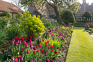 "Tulipa 'Il de France' and tulipa ""Purple Dream'in a border in the sunken garden at Chenies Manor House, Chenies, Rickmansworth, Buckinghamshire, UK"