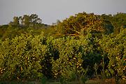 Sao Jose do Rio Preto_SP, Brasil...Programa Biota da Unesp, na foto plantacao de laranja...The Biota program of Unesp, In this the orange agriculture...Foto: JOAO MARCOS ROSA /  NITRO