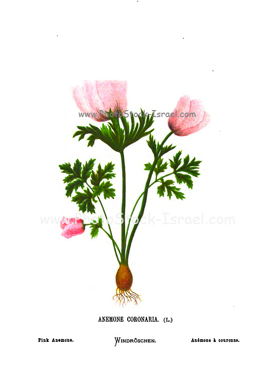 Pink crown anemone, Anemone coronaria. From the book Wild flowers of the Holy Land: Fifty-Four Plates Printed In Colours, Drawn And Painted After Nature. by Mrs. Hannah Zeller, (Gobat); Tristram, H. B. (Henry Baker), and Edward Atkinson, Published in London by James Nisbet & Co 1876 on white background