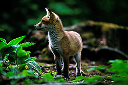 Red fox cub (vulpes vulpes), standing and alert, in a woodland clearing, Leicestershire, England, UK.