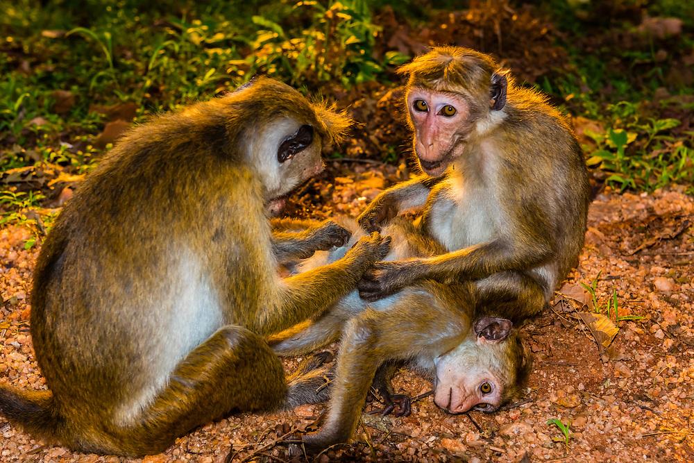 Monkeys, Sigiriya Rock (an ancient rock fortress), Central Province, Sri Lanka.
