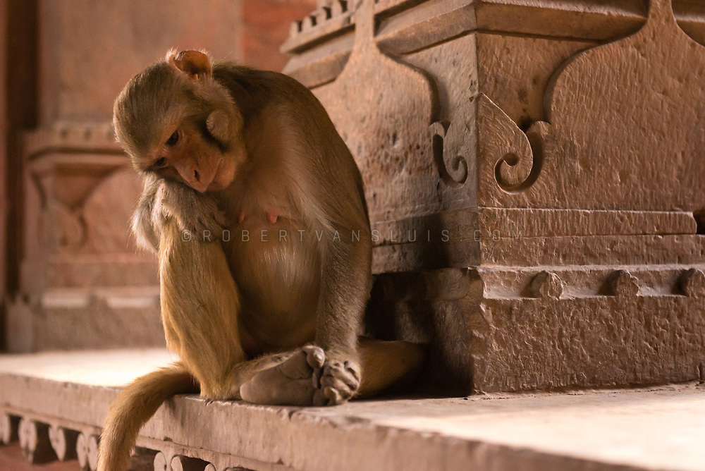 A monkey appears deep in thoughts at the Govind Dev temple in Vrindavan, India. Photo © robertvansluis.com