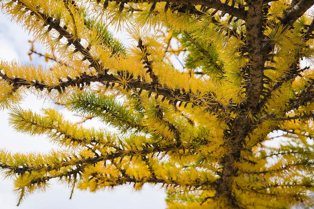 A closeup of Larch tree branches and needles, Enchantment Lakes Wilderness Area, Washington Cascades, USA.