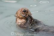 sea otter, Enhydra lutris ( Endangered Species ), eating mussel, Valdez, Alaska ( Prince William Sound ), USA