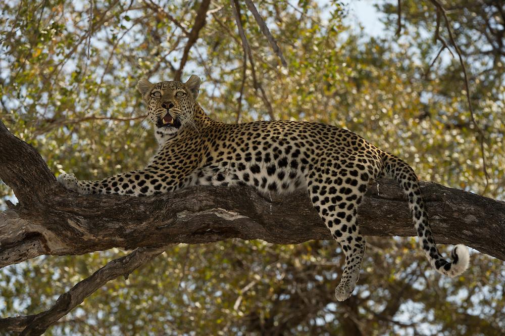 Leopard ((Panthera pardus) Female in tree<br /> Moremi Game Reserve, Okavango Delta<br /> BOTSWANA<br /> RANGE: Sub-Saharan Africa. Fragmented populations in Pakistan, India, Sri Lanka, Indochina, Malaysia, and China.<br /> IUCN: Near Threatened